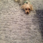 Menlo Park-Dog-carpet-clean