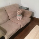Menlo Park-Sofa-Pet-Stain-Cleaning